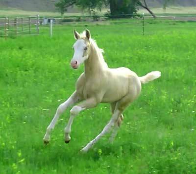 Stallions Smoke Tree Snapdragon